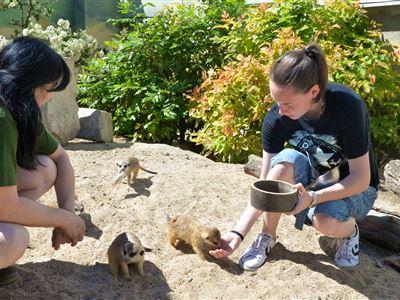 Krmení surikat
