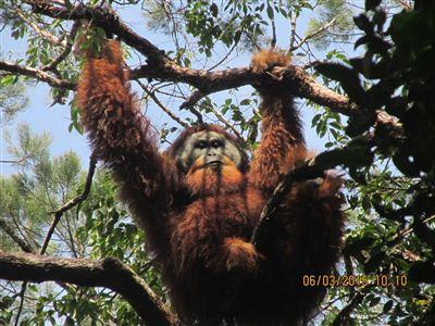 Togos - dominantní orangutaní samec