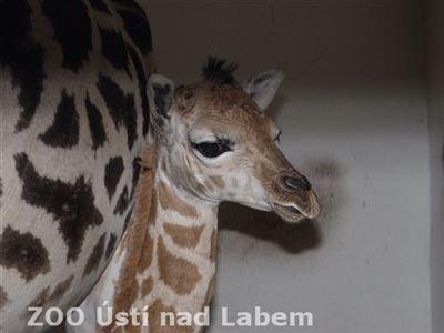 Malé žirafy jsou nádherná stvoření